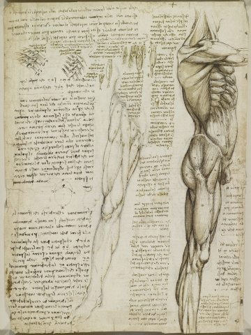 Recto: The muscles of the leg. Verso: The muscles of the trunk and leg  c.1510-11